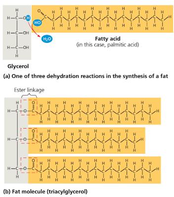 Struktur lemak, penyusun lemak, lemak adalah, triacylglycerol adalah