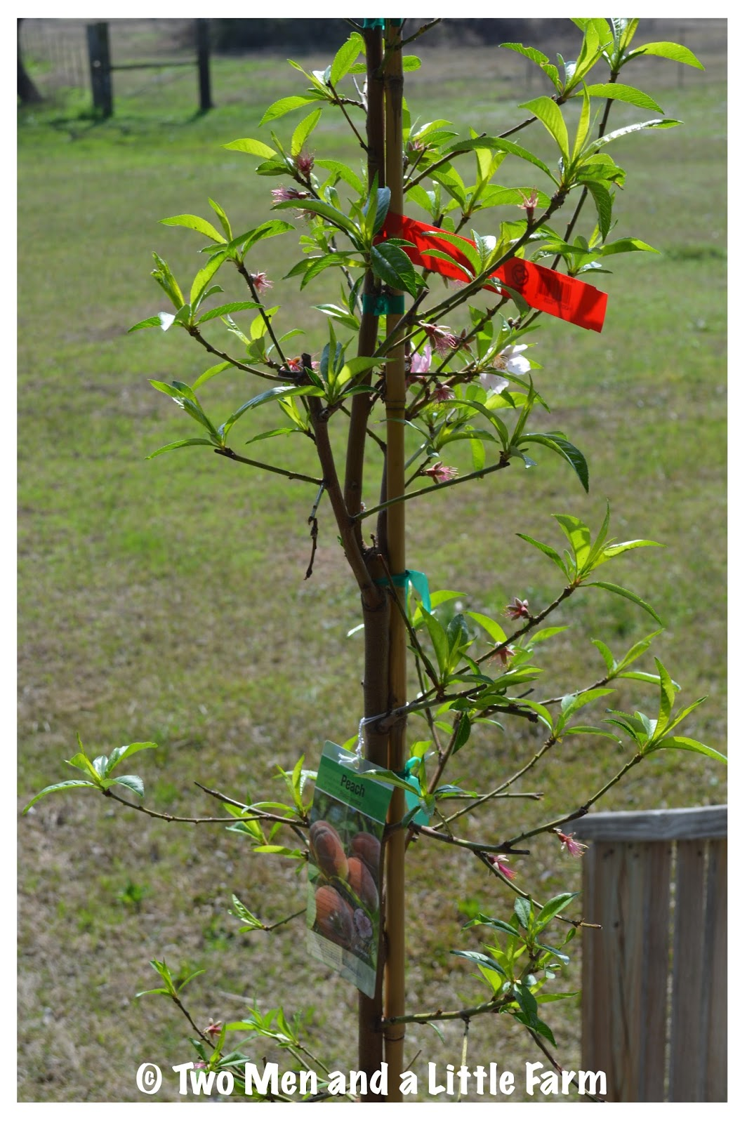 lower peach tree single guys How to prune a peach tree when the tree is at its maturation prune the tree low to measurement on your tree, prune all branches to a single.