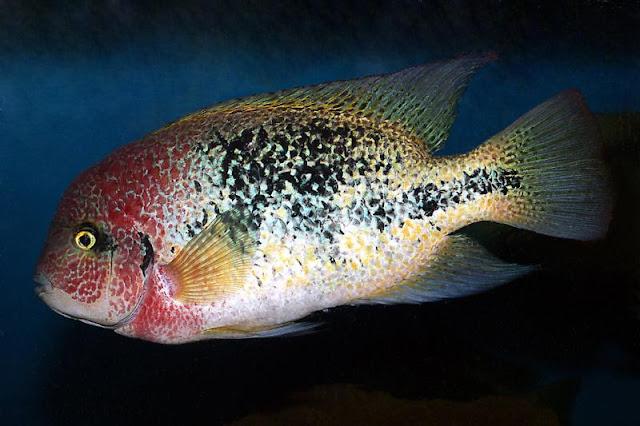 Bifa Vieja fenestratus ikan hias air tawar