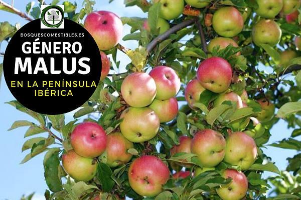 Lista de Especies del Género Malus, Manzano, Familia Rosaceae en la Península Ibérica