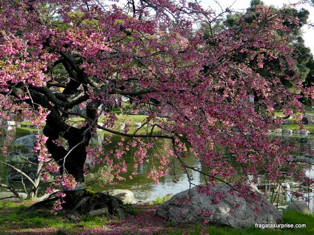 Cerejeiras em flor no Jardim Japonês de Buenos Aires