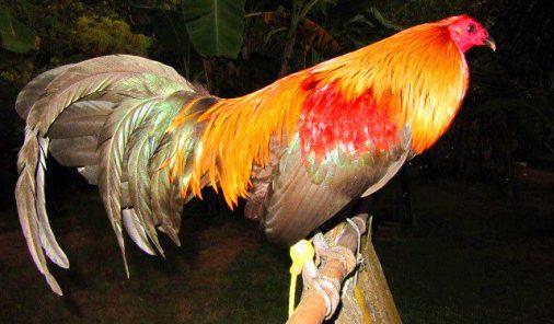 Resultado de imagen para gallos con colera aviar