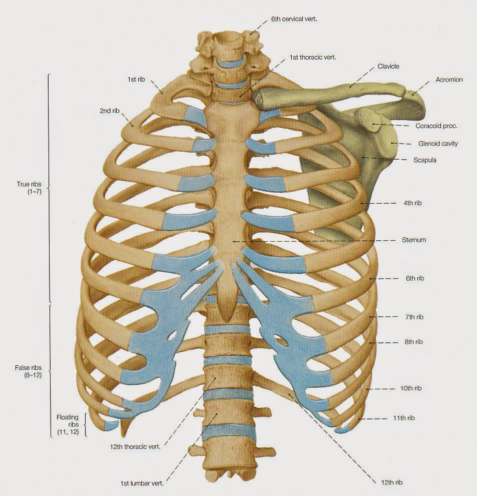 Anatomy Mcqs Thorax 12 Questions Dentistry And Medicine
