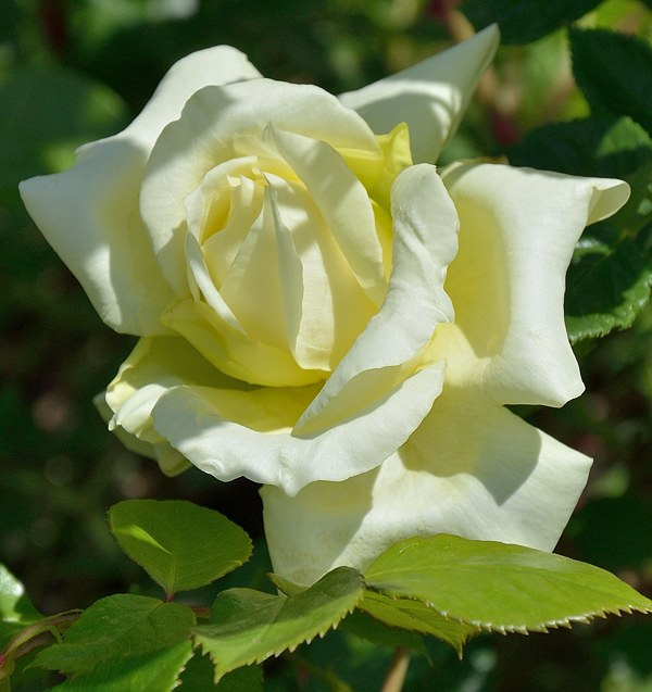 Elfe сорт розы фото Минск саженцы
