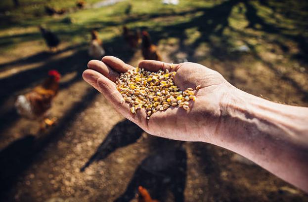 tratando-galinhas-com-milho-vida-rural-roça-vetarq