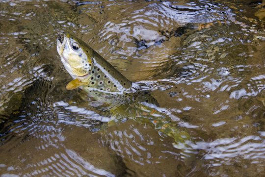 Deep Creek brown trout in the Great Smoky Mountains