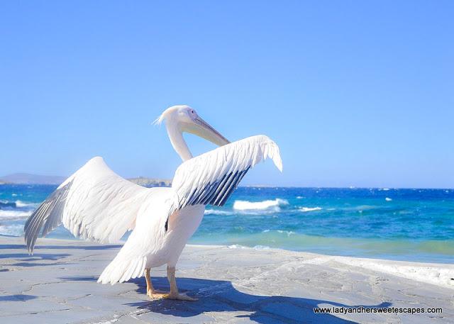 Mykonos resident pelican