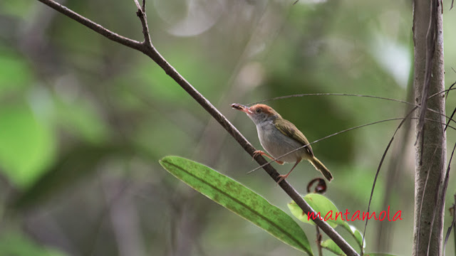 Common Tailorbird (Orthotomus sutorius)