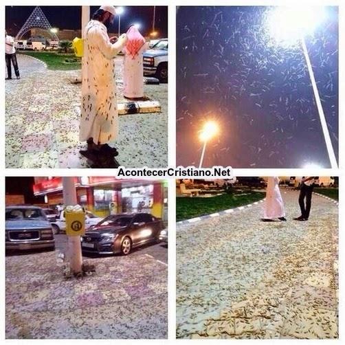 Plaga de langostas en Arabia Saudita