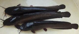Dibentuk dari perkawinan persilangan strain ikan lele Mesir Kabar Terbaru- JENIS LELE MUTIARA