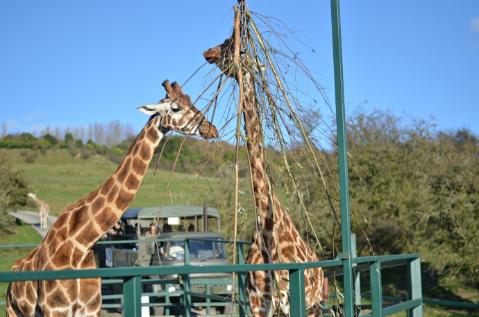 Experience Fresh, Port Lympne, giraffes