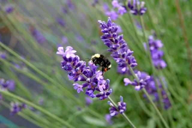 Gambar Bunga Lavender Yang Sangat Indah  Kumpulan Gambar
