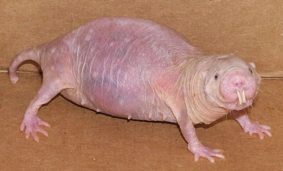 Hairless Wombat Pet These hairless rodents spend