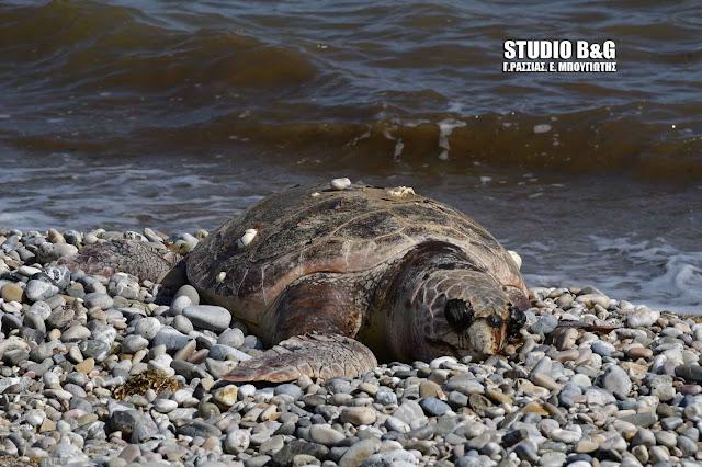 Νεκρή θαλάσσια χελώνα στους Μύλους Αργολίδας (βίντεο)