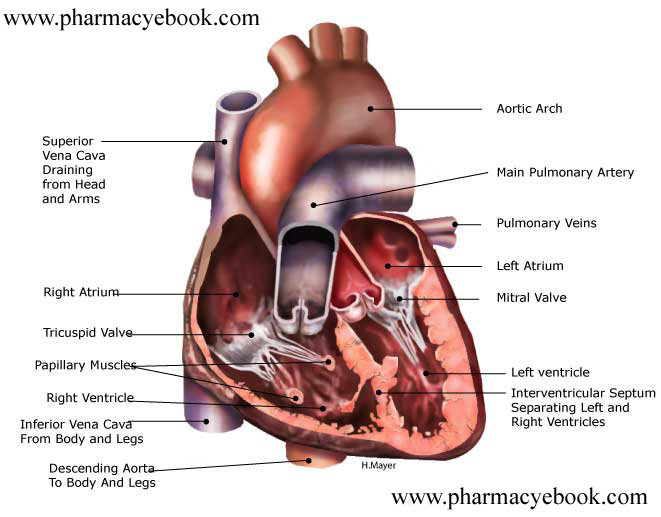 Describe the structure of Heart. | Pharmacy eBooks & Free Pharmacy ...