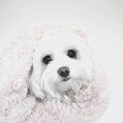 manchas negras en perros malteses