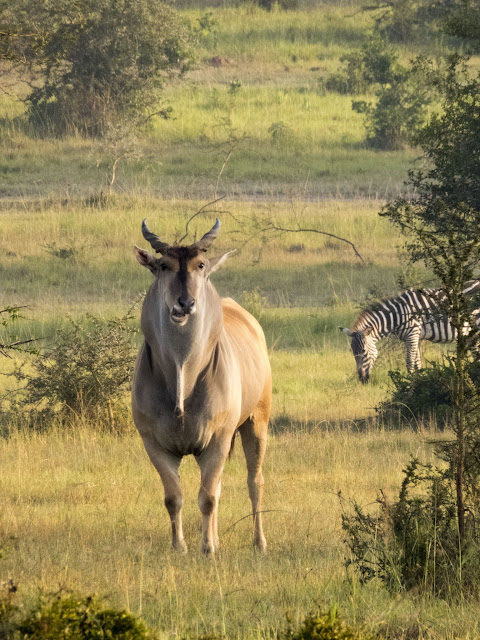 Eland in Uganda's Lake Mburo National Park