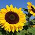 Inilah Cara Menanam Dan Merawat Bunga Matahari | Polybag
