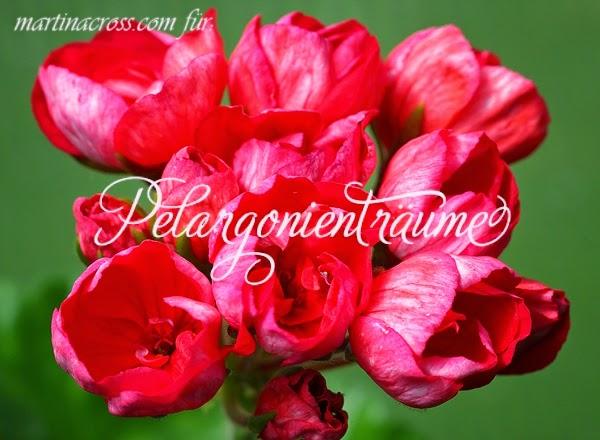 tulpenblütige-Pelargonie-Tulpenpelargonie-Tulpengeranie