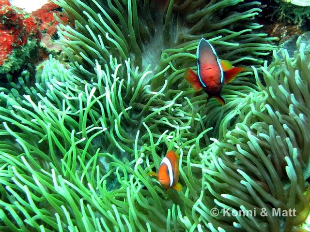 anemonefish, apo island, tropical sea, u/w photography, scuba diving,