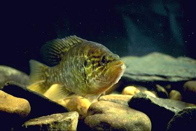 Warmouth Fish