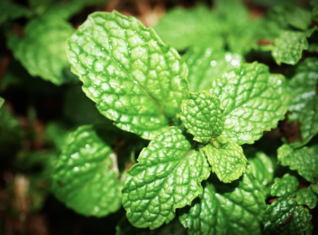 How To Grow Mint Leaves At Home