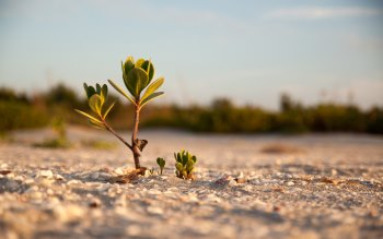 Wallpaper: Mangrove on the Sandy Beach