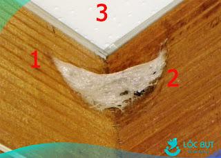Tại sao chim yến thích làm tổ ở góc gỗ 90 độ.