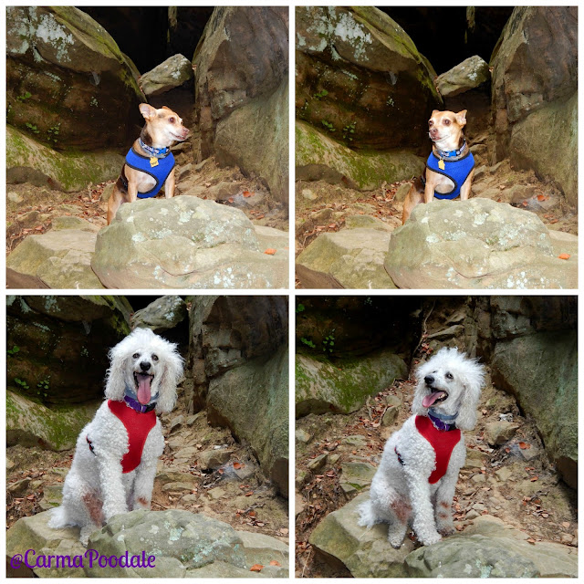 Scooby Doo, #Chihuahua and #CarmaPoodale, #poodle modeling on the rock formations