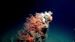 deep sea corals, NOAA Ocean Exploration and Research