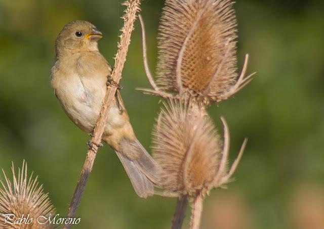 "alt=""corbatita comun,Sporopila caerulescens,aves de Mendoza"""