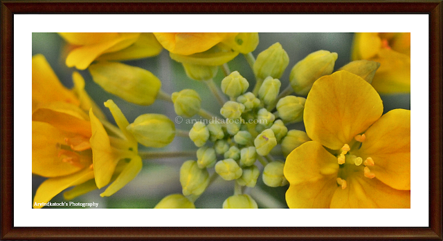 Yellow flower, yellow, flower, Flower world, yellow flower buds,