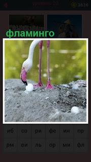 на берегу водоема стоит фламинго наклонив голову к яйцам