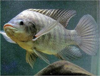 Budidaya Ikan di Pekarangan Rumah - Akuarium Ikan Hias