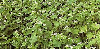 Alforfón cuya semilla es el trigo sarraceno