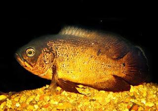 Jenis Ikan Oscar dan Harganya Golden Oscar