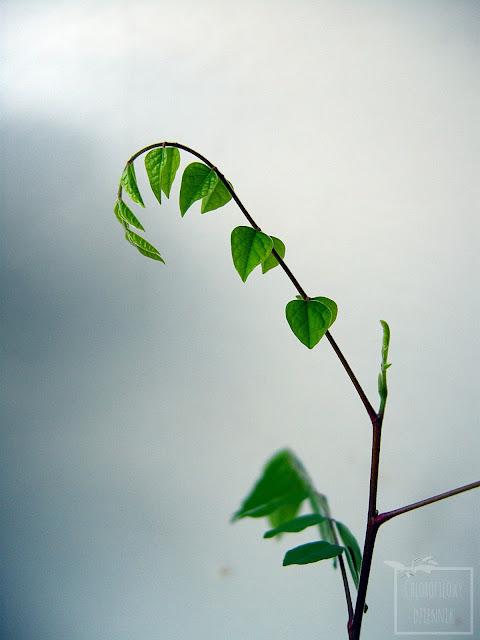Uprawa gwiaździstego owocu, karamboli, oskomian pospolity, starfruit. Opis, pielęgnacja, pochodzenie. Skąd pochodzi karambola? Jak dbać o karambolę w doniczce? Averrhoa carambola z nasion.