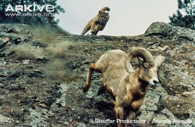 Puma and Bighorn sheep