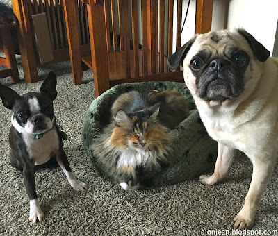 Lucy the blind cat with her pug and her Boston terrier
