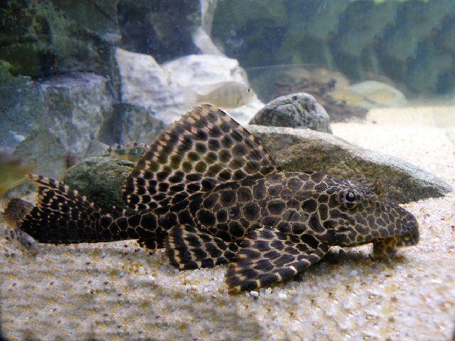 Gambar Ikan Sapu-Sapu