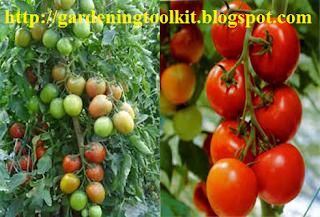 """""""tomatoes"""", """"tomato plants"""", """"hydroponics tomatoes"""""""