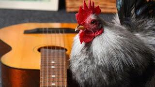 ayam cooper