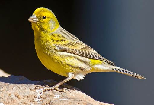 Tips Cara Beternak Burung Kenari Untuk Pemula Paling Lengkap Tips Cara Beternak Burung Kenari Bagi Pemula Paling Lengkap