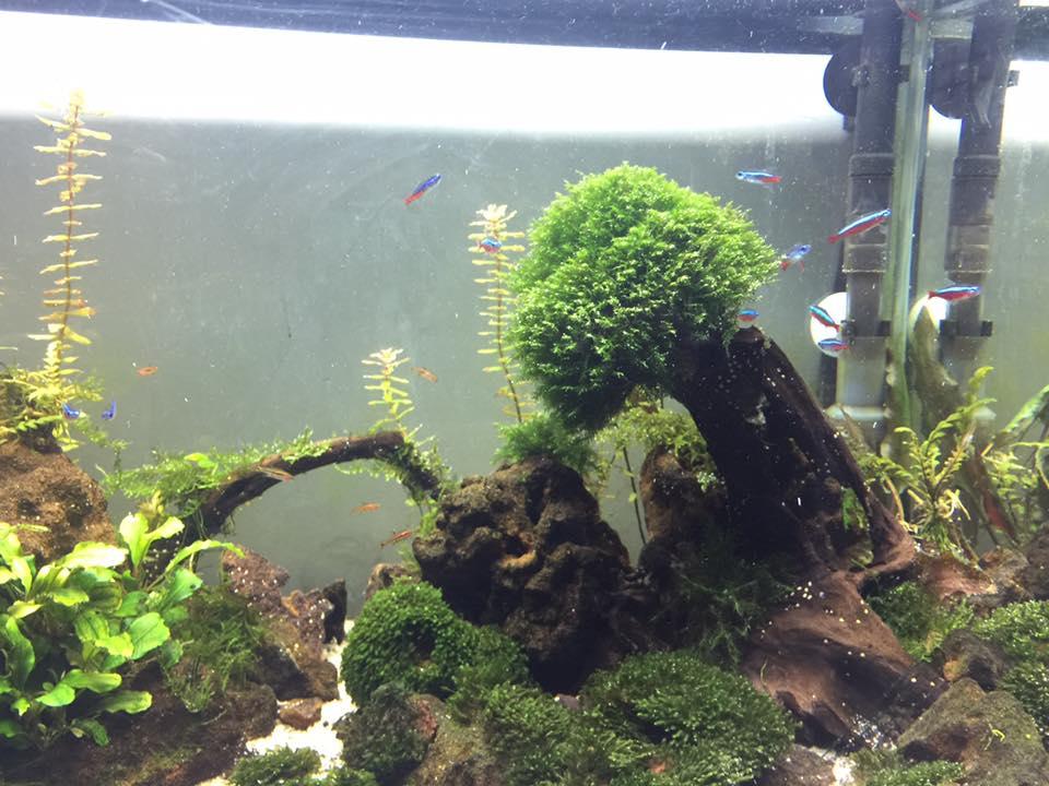 Rêu us fiss buộc trên cây lũa bung tán trong hồ thủy sinh