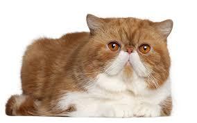 Kucing Exotic Shorthair dan Karakteristiknya