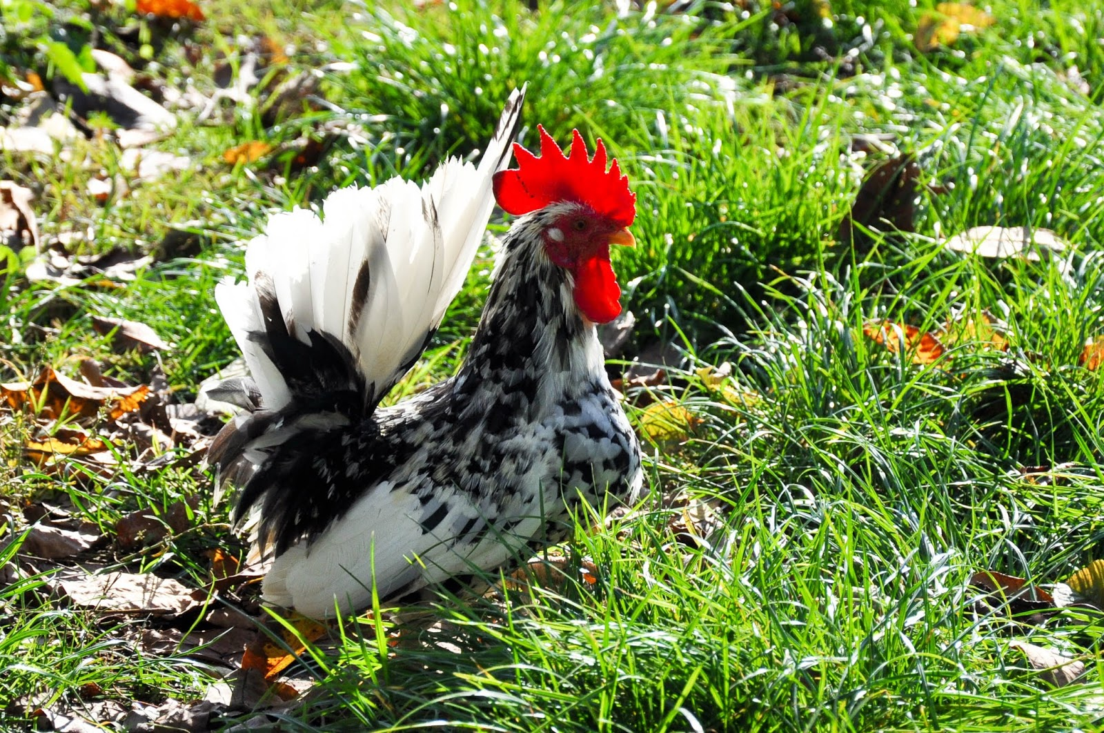 A handsome rooster in the grass, Agriturismo La Borina, Veneto, Italy