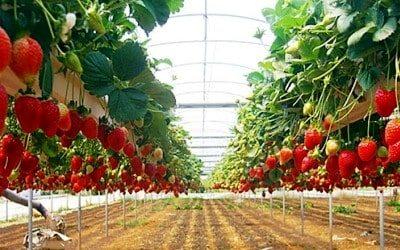 Kebun Inggit Strawberry Magelang