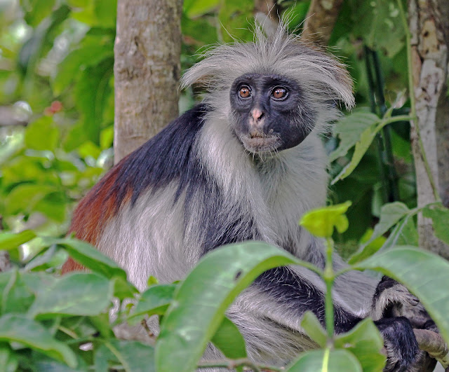 Buy canvas print of Red Colobus Monkey
