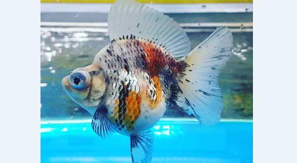 Jenis Ikan Mas Koki Demekin