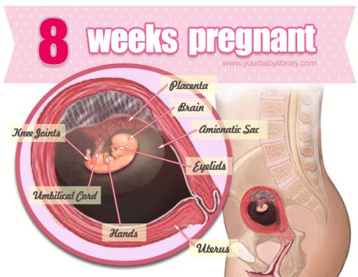 Graviditet Lommeregner - Graviditetskalender - Uge for uge OG MÅNED for MÅNED: Uge 8